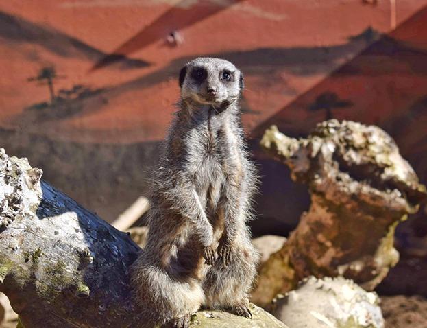 Secret Valley Wildlife Park meercat
